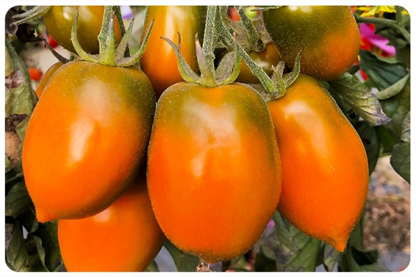 Xantomato - the new israeli tomato